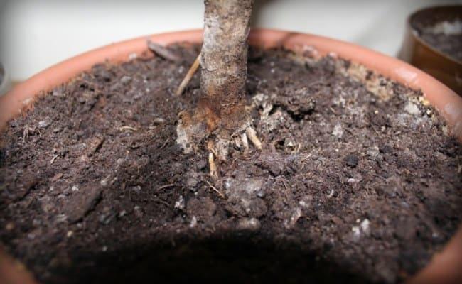 Мушки в цветочных горшках: чем обрабатывать и как предупредить